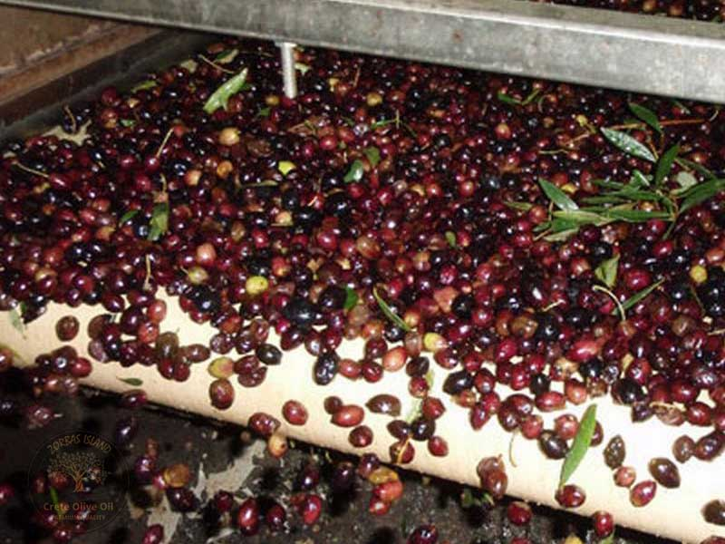 cleaning-the-olives-before-pressing