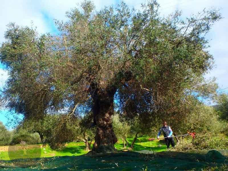 crete-olive-tree