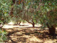 olive-grove-harvest