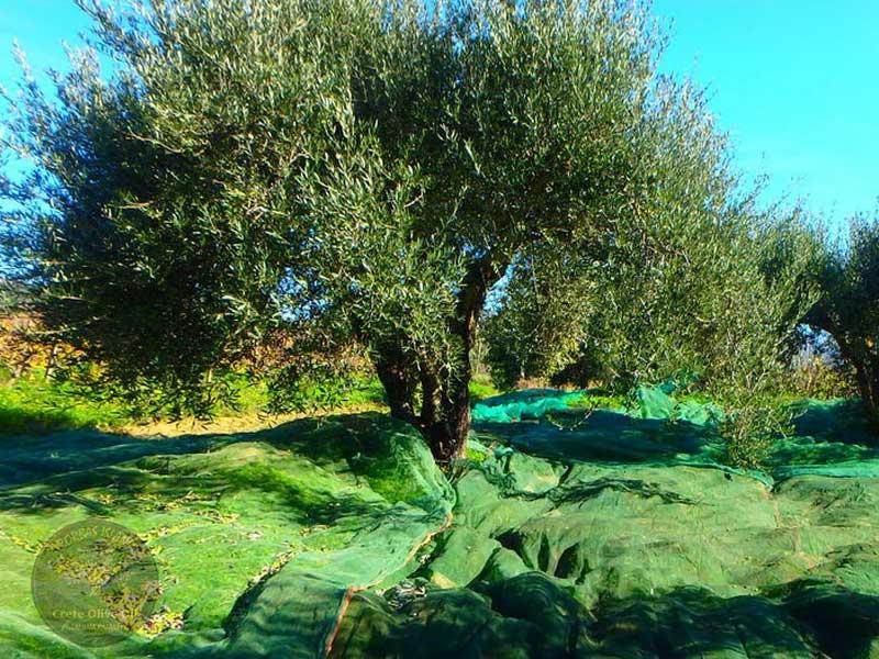 olive-grove-on-crete